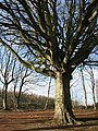 Ancient beech on Windsor Hill - geograph.org.uk - 673949.jpg