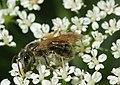 Andrena chrysosceles m.jpg