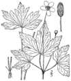 Anemone virginiana BB-1913.png