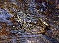 Angel's Madagascar Frog (Boehmantis microtympanum) (9631508946) (cropped).jpg