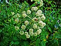 Angelica archangelica 002.JPG