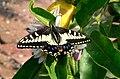 Anise Swallowtail.jpg