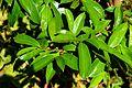Annona muricata in Jardin des Plantes de Toulouse 01.jpg