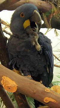 Anodorhynchus hyacinthinus - National Aviary
