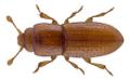 Anommatus duodecimstriatus (Mueller, 1821).png