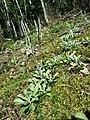 Antennaria dioica sl62.jpg