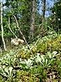 Antennaria dioica sl64.jpg