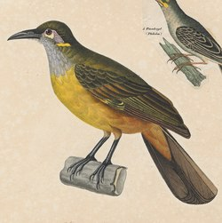 Anthochaera chrysotis - 1825-1839 - Print - Iconographia Zoologica - Special Collections University of Amsterdam - (cropped).tif