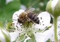 Apis mellifera mellifera cutted out of image.png