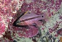 Apogon kallopterus.jpg