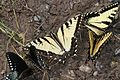 Appalachian Tiger Swallowtail - Papilio apalachiensis, Richard G Thompson Wildlife Management Area, Linden, Virginia.jpg