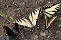 Appalachian Tiger Swallowtail - Papilio apalachiensis, Richard G Thompson Wildlife Management Area, Linden, Virginia.jpg