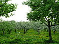 Apple orchard Moscow State University 01.JPG