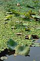 Aquatic Plants - Kolkata 2015-01-08 2348.JPG