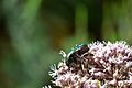 Araignées, insectes et fleurs de la forêt de Moulière (Le Gâchet de Villiers) (29096972846).jpg