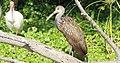 Aramus guarauna (Limpkin) 32.jpg