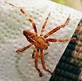 Araneus diadematus male (28318206489).jpg