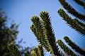 Araucaria araucana - monkey-puzzle tree - monkey tail tree - chilenische Araukarie 05.jpg
