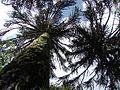 Araucaria araucana PN Villarrica por Pato Novoa 020.jpg
