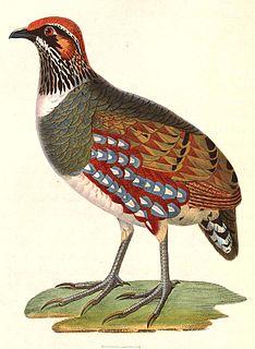 Hill partridge species of bird