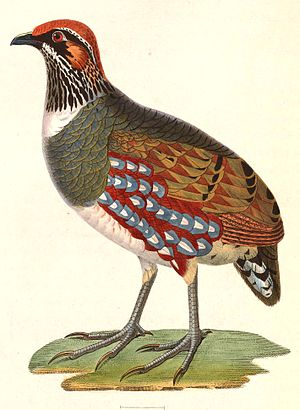 Hill partridge - Image: Arborophila torqueola torqueola male 1838