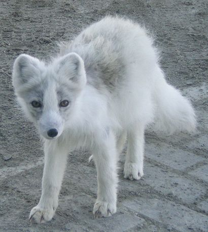 Arctic Fox close up crop.JPG