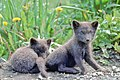 Arctic fox pups (5945302512).jpg