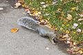 Ardilla zorro oriental (Sciurus niger), Purdue University, West Lafayette, Indiana, Estados Unidos, 2012-10-15, DD 18.jpg