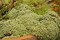 Arenaria tetraquetra var granatensis 1.JPG