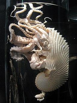 Argonauta argo - Oslo Zoological Museum - IMG 9071