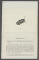 Armadillo willii - - Print - Iconographia Zoologica - Special Collections University of Amsterdam - UBAINV0274 098 09 0020.tif