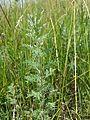 Artemisia pontica sl10.jpg