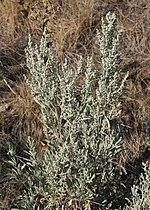 Artemisia tridentata 3.jpg
