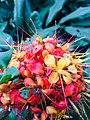 Ashoka flower - is a plant belonging to the Caesalpinioideae subfamily of the legume family.jpg