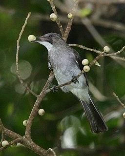 Cinereous bulbul Species of songbird