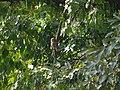 Asian Barred Owlet - Glaucidium cuculoides - P1080007.jpg