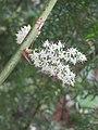 Asparagus racemosus - Satawari flowers - at Peravoor 2018 (7).jpg
