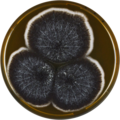 Aspergillus fijiensis meaox.png