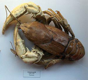 Tasmanian giant freshwater crayfish - Dry museum specimen