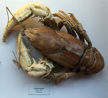 English: A dry specimen of Astacopsis gouldi, ...