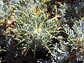 Astragalus granatensis leavesCloseup.jpg