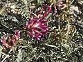 Astragalus monspessulanus (habitus).jpg