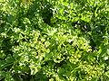 Astydamia latifolia (2009).jpg