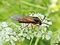 Athalia rosae (Tenthredinidae) - (imago), Elst (Gld), the Netherlands.jpg