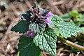 Atlas roslin pl Jasnota purpurowa 6273 7263.jpg