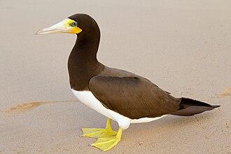 Brown booby - Image: Atobá pardo