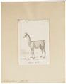 Auchenia lama - 1700-1880 - Print - Iconographia Zoologica - Special Collections University of Amsterdam - UBA01 IZ21600103.tif