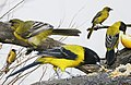 Audobons Oriole From The Crossley ID Guide Eastern Birds.jpg