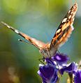 Aussiegall - Bokeh Butterfly (by).jpg