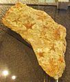 Australaster giganteus.jpg